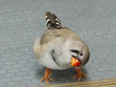 Cheeky Lightback Hen