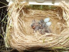 5 CFW Chicks