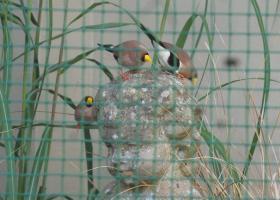 masked grassfinch.jpg