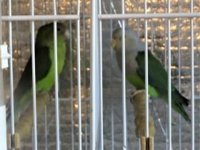 Madagascar lovebirds Nov 9th 2017 (2).JPG